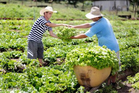 Left or right colheita de alface em propriedade rural do municipio 1200x800